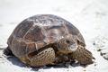Beach Tortoise  - PhotoDune Item for Sale