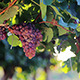 Grapes in Vineyard - VideoHive Item for Sale