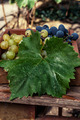 freshly harvested grapes - PhotoDune Item for Sale