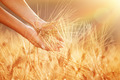 Enjoying golden wheat field - PhotoDune Item for Sale