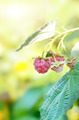 Ripe organic raspberries - PhotoDune Item for Sale