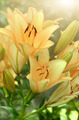 Yellow lilies - PhotoDune Item for Sale