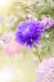 Violet aster - PhotoDune Item for Sale