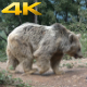 Brown Bear 1 - VideoHive Item for Sale