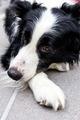 Sleeping border collie - PhotoDune Item for Sale