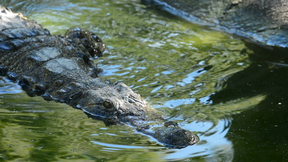 Crocodile or Alligator in Water