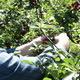 Harvesting Sour Cherries 1 - VideoHive Item for Sale