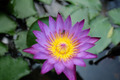 Purple water lily in the earthen jar. - PhotoDune Item for Sale