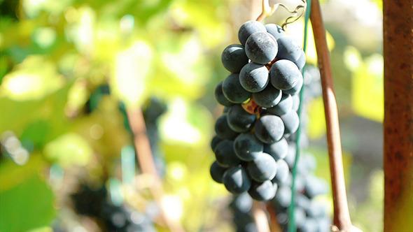Purple Grapes 5