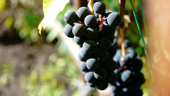 Purple Grapes 7
