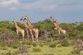 Five giraffes watching something