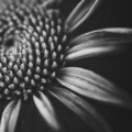 close up flower in black and white - PhotoDune Item for Sale