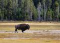 Senior North Amercian Bull Buffalo - PhotoDune Item for Sale