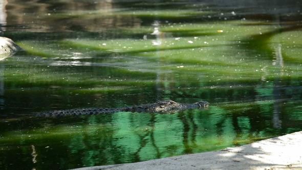 Crocodile or Alligator in River