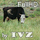 Grazing Cows - VideoHive Item for Sale