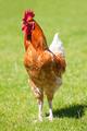 Beautiful cock - PhotoDune Item for Sale