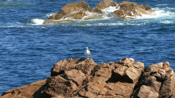 Seagull Sitting on the Rocks 899