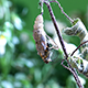 Butterfly Emerging from a Pupa - VideoHive Item for Sale