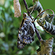 Butterfly Fresh Out of Pupa - VideoHive Item for Sale