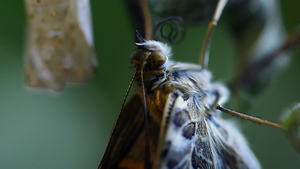 Extreme Close Up of Butterfly Rolling His Tongue