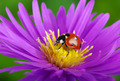 Ladybug and flower - PhotoDune Item for Sale