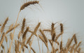 Wheat Fields Isolated - PhotoDune Item for Sale