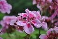 Geranium flowers in dew - PhotoDune Item for Sale