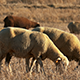 Flock of Sheep Grazing on Fields 915 - VideoHive Item for Sale