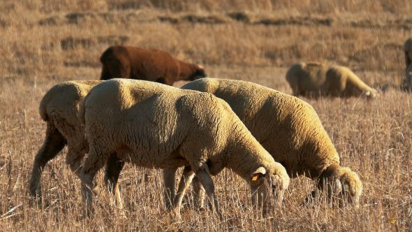 Flock of Sheep Grazing on Fields 915
