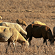 Flock of Sheep Grazing on Fields 916 - VideoHive Item for Sale