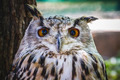 predator, beautiful owl with intense eyes and beautiful plumage - PhotoDune Item for Sale