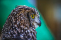 pet, beautiful owl with intense eyes and beautiful plumage - PhotoDune Item for Sale