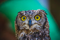zoo, beautiful owl with intense eyes and beautiful plumage - PhotoDune Item for Sale