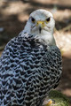beautiful white falcon with black and gray plumage - PhotoDune Item for Sale