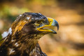 imperial eagle, head detail with beautiful plumage brown - PhotoDune Item for Sale