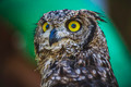 watching, beautiful owl with intense eyes and beautiful plumage - PhotoDune Item for Sale