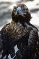 eagle brown plumage and pointed beak - PhotoDune Item for Sale