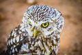 prey, cute little owl, gray and yellow beak and white feathers - PhotoDune Item for Sale