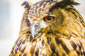 raptor, beautiful owl with intense eyes and beautiful plumage - PhotoDune Item for Sale