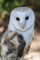 White-headed owl posing and looking at camera - PhotoDune Item for Sale