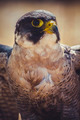 hawk, peregrine falcon with open wings , bird of high speed - PhotoDune Item for Sale