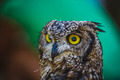 beautiful owl with intense eyes and beautiful plumage - PhotoDune Item for Sale