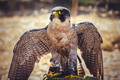peregrine falcon with open wings , bird of high speed - PhotoDune Item for Sale