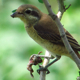 Brown Shrike Eating A Frog - VideoHive Item for Sale