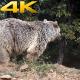 Real Wild Bear in Natural Environment 3