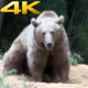 Brown Bear 4 - VideoHive Item for Sale