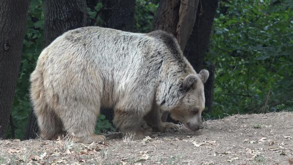 Brown Bear 8