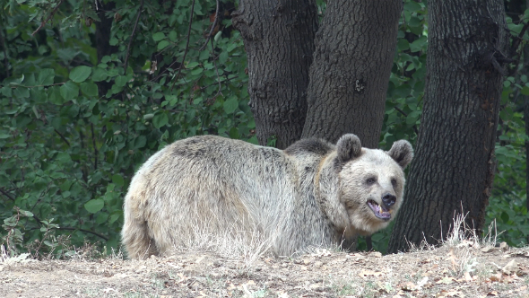 Real Wild Bear in Natural Environment 9