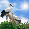 storks in the nest on the sky background - PhotoDune Item for Sale