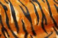 Tiger hide - PhotoDune Item for Sale